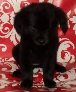 free puppies akron ohio beautiful aussie lab mix puppies for sale adoption from akron ohio summit adpost