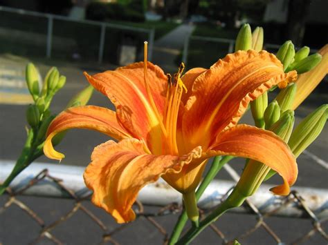 Home Design App Hgtv by Try These Daylily Recipes Hgtv