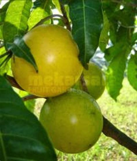 Bibit Sawo Raksasa pondok dahar lauk jogja jalan jalan sehari mengeksplorasi taman buah mekarsari