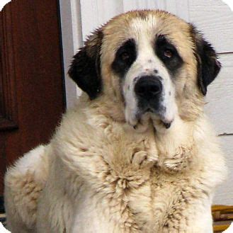 great pyrenees anatolian shepherd mix puppies for sale anatolian shepherd x great pyrenees mix breeds picture