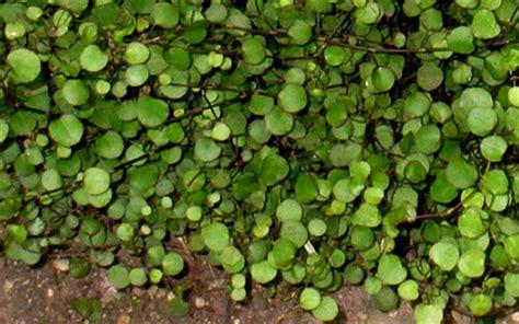 muehlenbeckia axillaris nana little leaf creeping wire