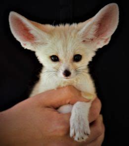 fennec fox animal world  snake farm