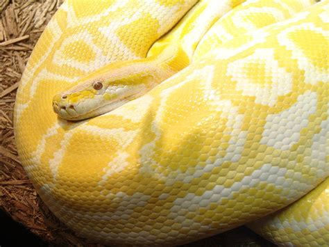 Carpet Python Bite by Abcs Of Animal World The World S Most Colorful Large