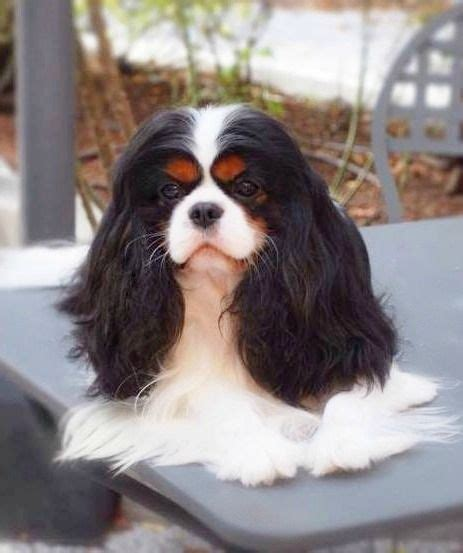 tri color cavalier tri color cavalier king charles spaniel with a lovely