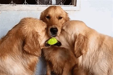 goodtime golden retrievers this golden retriever stopping a fight between his friends is for words