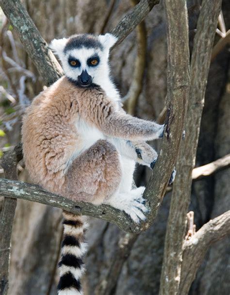 Madagascar Lemur Quotes lemur quotes quotesgram