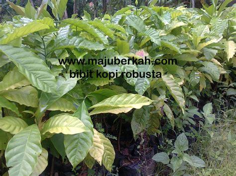 Bibit Kopi bibit kopi robusta bibit tanaman kopi robusta jual bibit