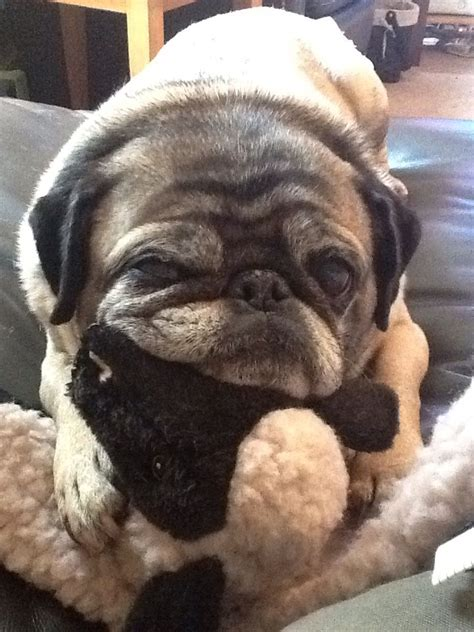 toys for pugs 1000 ideas about pug on teacup dogs for sale pugs and shar pei puppies