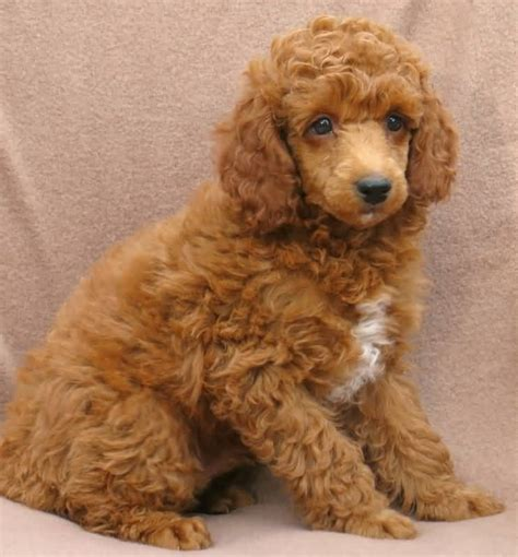 miniature poodle puppies mini poodle dogs www imgkid the image kid has it
