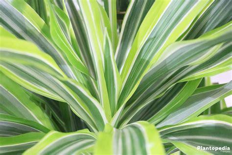 drachenbaum dracaena fragrans dracaena marginata conseils d entretien rempotage et