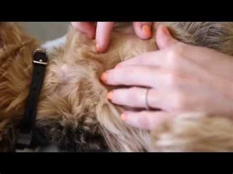 how to check for fleas how to check your pet for fleas vetvid episode 022 funnydog tv