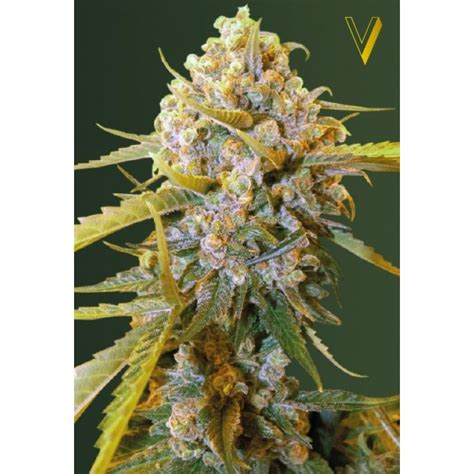 How Many Recorded Deaths From Cannabis Bud From Victory Seeds Strains Io Cannabis