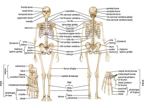 detailed skeletal system diagram human skeletal system parts functions diagram facts