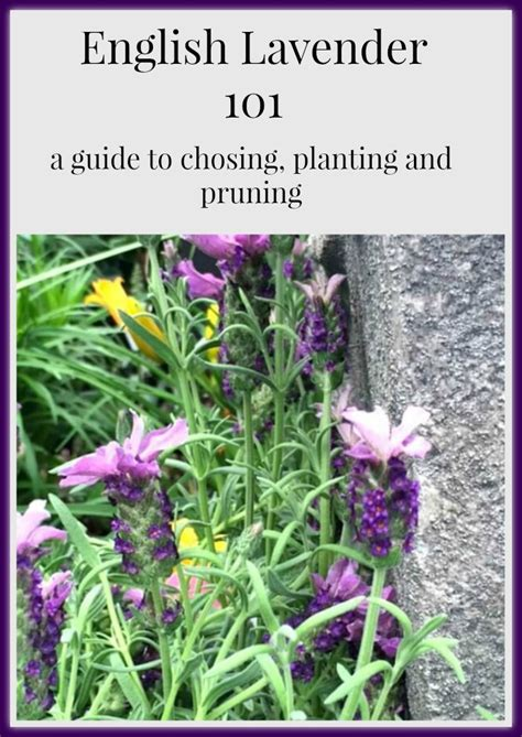 english lavender a guide to choosing caring for pruning