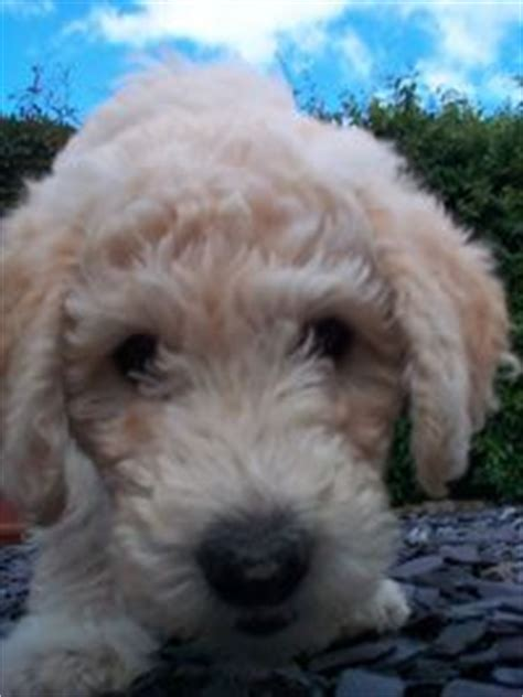 goldendoodle puppy care tips 18 best images about i goldendoodles on