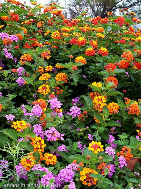 lantana colors lantana all about color all about color
