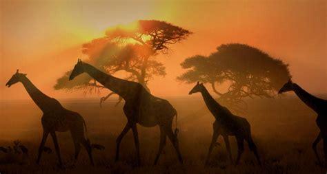 imagenes de jirafas bonitas con frases de amor jirafas en 193 frica fotos bonitas imagenes bonitas