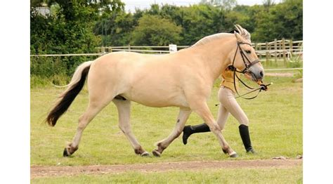 finding a fjord horse for sale right horse right home - Fjord Horse For Sale Uk