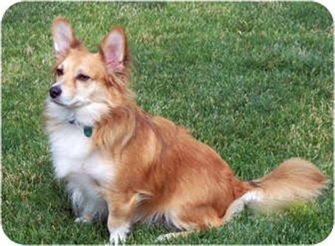 where did pomeranians come from our quot fox quot finley he s a corgi pomeranian mix aww whole bunch of cuteness
