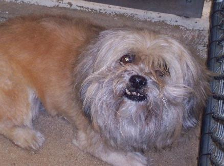 shih tzu ear problems shih tzu adopt rescue
