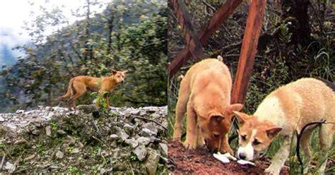 guinea highland wild dog  thought extinct  rediscovered