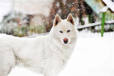 alaska list dogs 85 stunning alaskan names my s name