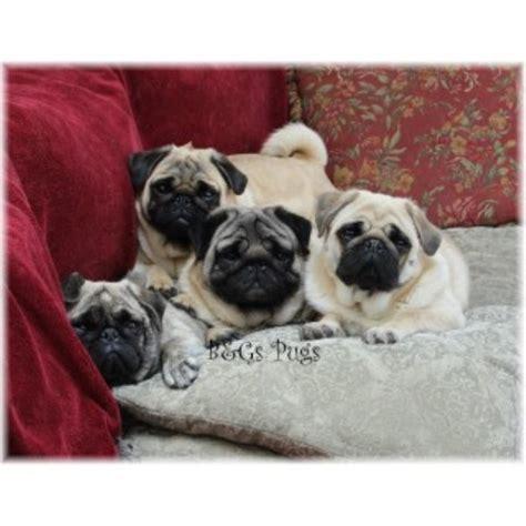 pugs wisconsin b g s pugs pug breeder in kewaunee wisconsin 54216 freedoglistings id 18211