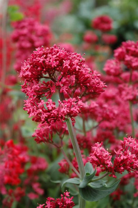 red valerian centranthus ruber  milwaukee racine