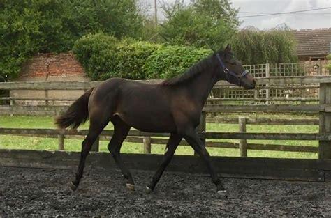 hanoverian horses for sale hanoverian horse for sale witcham house farm stud