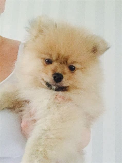 pomeranian for sale in pomeranian for sale nuneaton warwickshire pets4homes