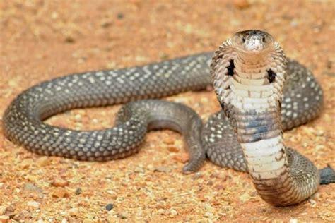 film thailand tentang ular cobra mengintip desa kobra di thailand