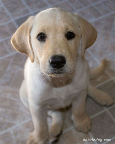 pictures of lab dogs labrador puppy 18 jpg