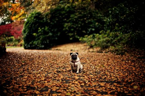 pug in leaves sunday at park with a