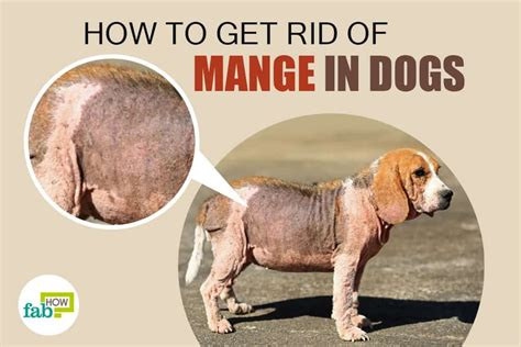 mange in dogs how to treat mange in dogs kill the infection with 6 home