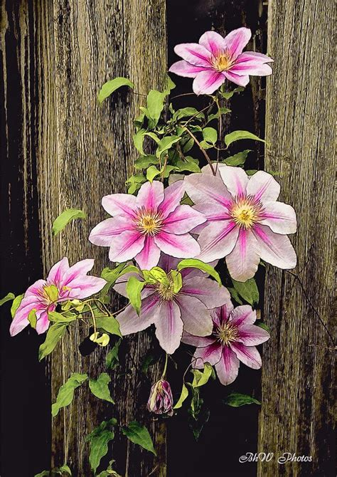 clematis flowering vine designing with vines pinterest