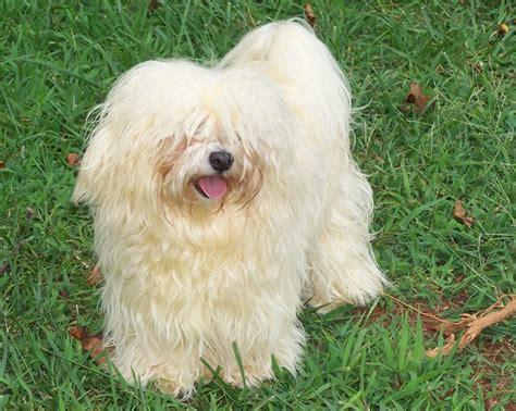 havanese seizures 1051 best havanese images on havanese puppies havanese grooming and