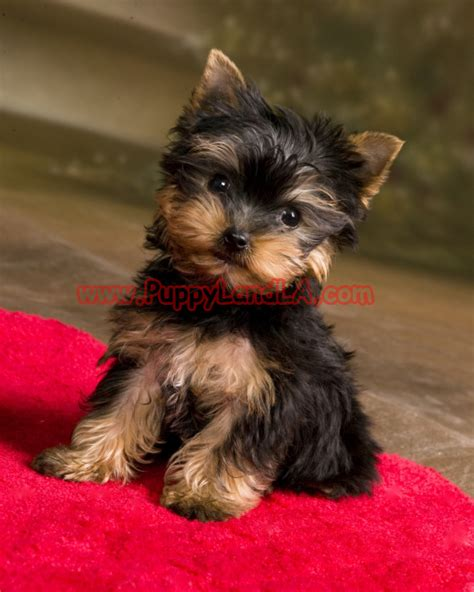 teacup yorkie puppylandla yorkies maltese breeders teacup yorkie
