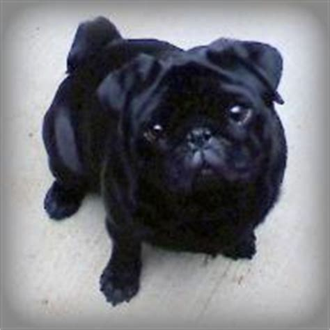 how much is a pug cost how much do pugs cost breeds picture