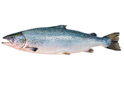Lachs Bilder by Lachs S 252 223 Wasserfische Definition Warenkunde
