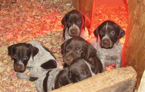 german shorthaired pointer puppies for sale in nc puppies for sale creek preserve llc