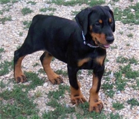 cheap doberman puppies for sale doberman puppies for sale in palm county