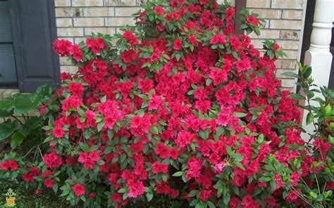 flowering shrubs for sale ruffle azaleas for sale the planting tree