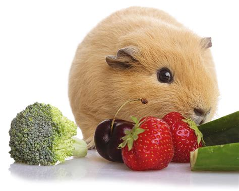 vegetables guinea pigs can eat can guinea pigs eat broccoli safely and in what quantity
