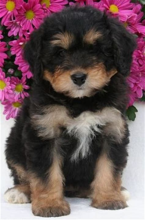 bernese mountain and poodle bernedoodle mix of bernese mountain poodle