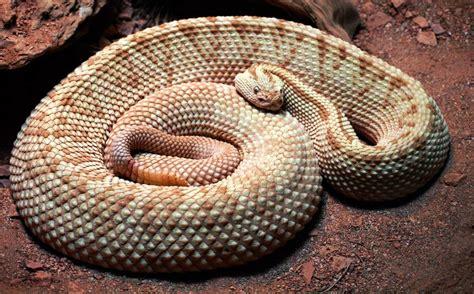 imagenes asombrosas de serpientes serpiente de cascabel www pixshark com images