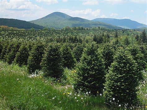 abeti da giardino albero natale piante da giardino albero natale arbusti