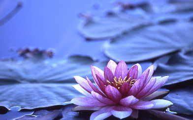 fiore di ninfea significato il significato dei fiori ninfea la ninfea 232 un