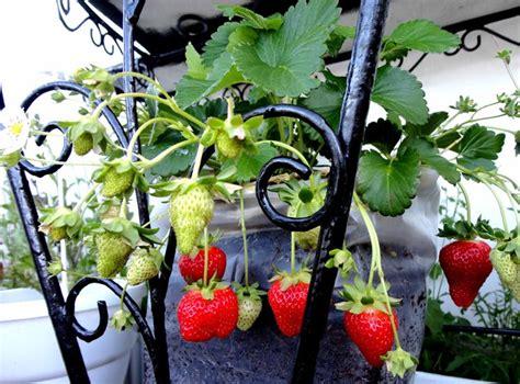 fragole in vaso coltivazione fragole ricanti piante da giardino pianta fragole