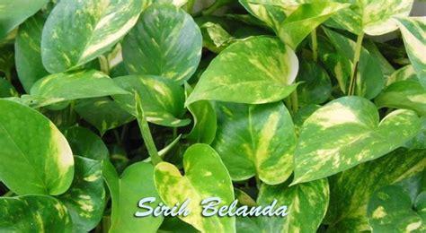 manfaat daun sirih belanda sebagai penyerap racun asap rokok