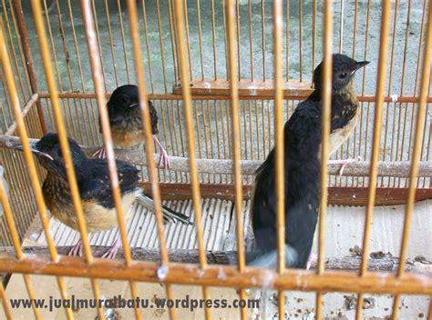 Anakan Arwana Di Medan ciri jantan dan betina pada murai batu dewasa kicauku
